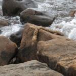 Kaislan juurakko kivellä